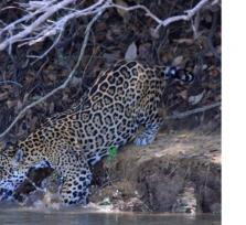 Jaguar Spotting Boat Ride