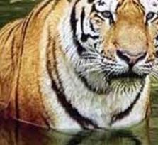 Golden Tiger Triangle