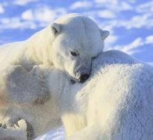 Canada Polar Bear Babies